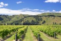 Vineyard near Gisborne, New Zealand.