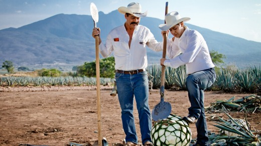 Tequila jimadors in the agave field.