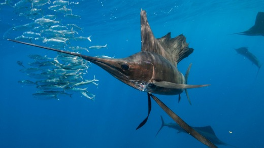 Underwater view of  sailfish corralling a sardine shoal, Contoy Island.