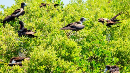 Juvenile Frigate birds on Contoy Island National Park, Mexico.