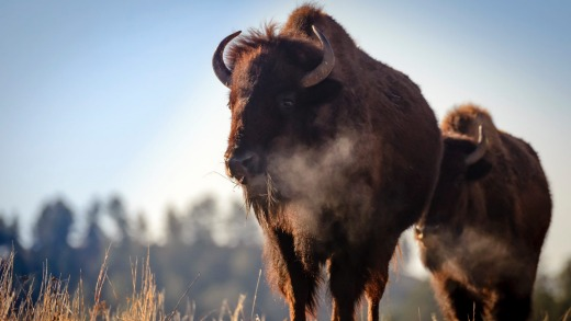 Visitors can spot herds of bison in Custer State Park in South Dakota.
