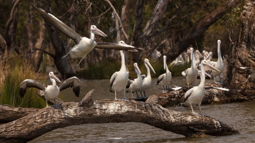 Pelicans on the Murray.