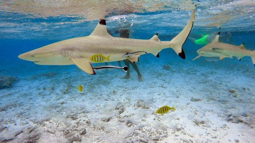 Black-tipped sharks and stingrays in the shallow waters of the Bora Bora lagoon.