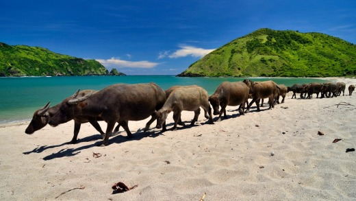 Buffalos walk along Mawun beach, Lombok.