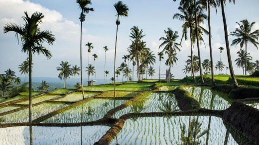 Rice fields, Senaru, Lombok.