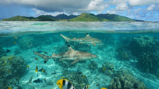 Sharks and tropical fish  swim around the island of Huahine.