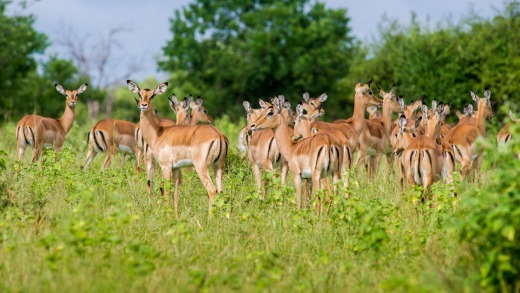 Impala in Chobe National Park.