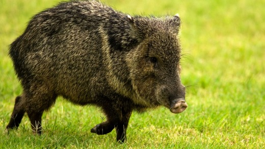 A javelina photographed in Big Bend National Park.