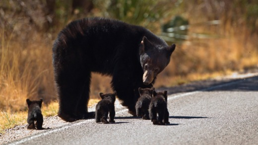 A black bear mother with her young in Big Bend National Park.