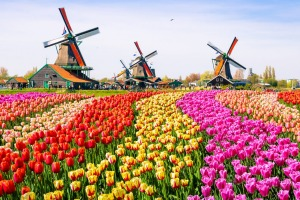 Windmills and tulips: Zaanse Schans Dutch tourist village.