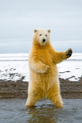 A polar bear plays air guitar at the Arctic National Wildlife Refuge, Alaska.