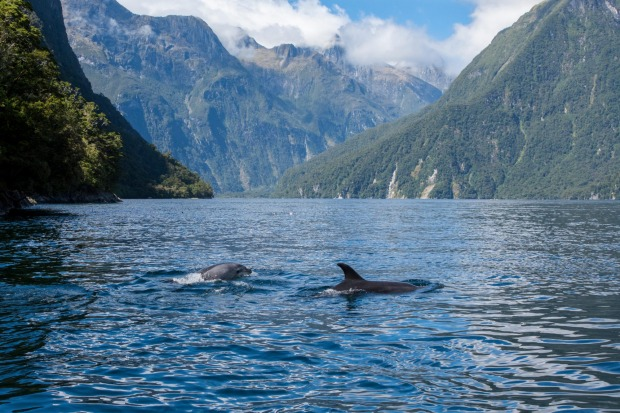 Dolphin pods at Dusky Sound, New Zealand.