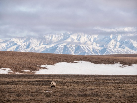 Grizzly Bear on coastal plain, Arctic National Wildlife Refuge, Alaska.