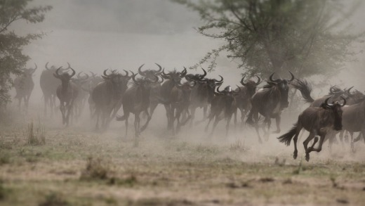 The wildebeest's massive annual migration to follow the rains in Tanzania is branded one of the great natural seven ...