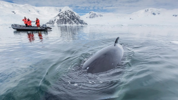 A curious Antarctic minke whale (Balaenoptera bonaerensis) approaches the Zodiac in Neko Harbour, Antarctica.