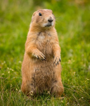 A local prairie dog.