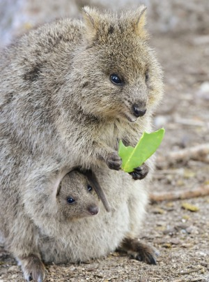 Quokka and baby on Rottnest Island.