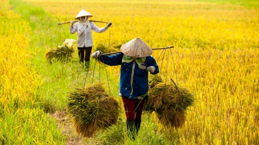 Farmers harvesting rice plants in the Red River Delta.