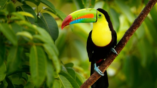 Keel-billed Toucan, in the Costa Rica rainforest.