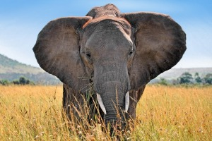 See elephants in the wild in Kenya.