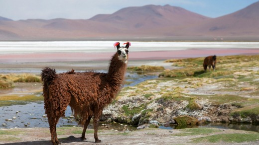 Lama on the Laguna Colorada.