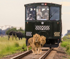 Up close with the lions on the open-sided Elephant Express.
