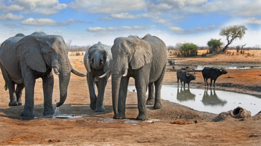 Elephants come to a waterhole in Hwange National Park, Zimbabwe.