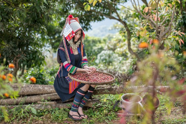 A lady from the Akha tribe picking Arabica coffee berries at plantation in Chiang Rai, Thailand.