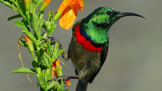 A sunbird enjoys the flora at Grootbos Private Nature Reserve.