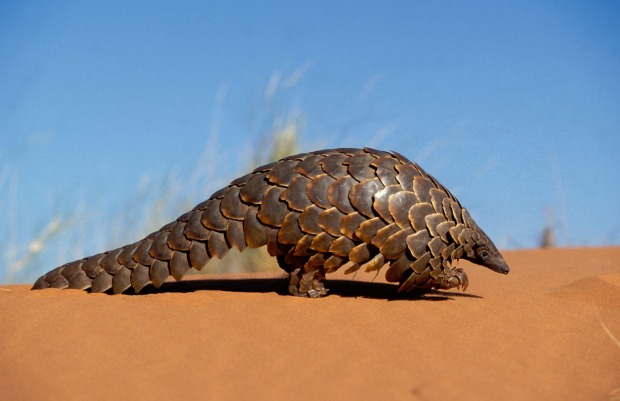Pangolins: Few animals look as bizarrely cool as the pangolin – a big-tailed mammal that comes with its own scaly suit ...