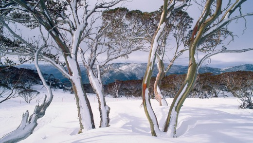 Snow-covered gums help define our alpine scenery.