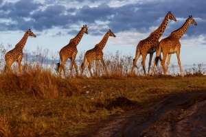 Giraffes in the Masai Mara National Reserve.