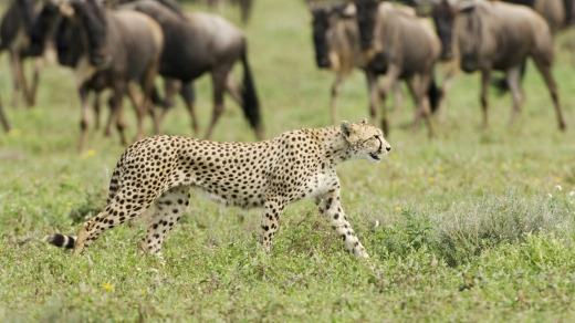 Cheetah and wildebeest in Tanzania.