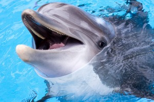 A lonely dolphin's amorous behaviour is causing problems in France.