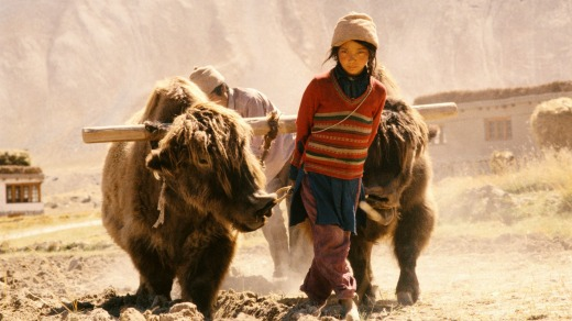 A local girl with yaks  ploughing a field.