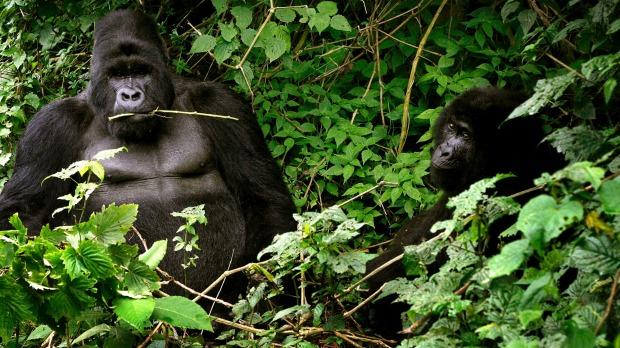 Two mountain gorillas in the Virunga National Park, in a more typical pose.
