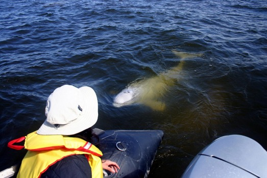 KAYAK WITH BELUGA WHALES: When the arctic summer comes alive between mid-June and September, Northern Manitoba's Hudson ...