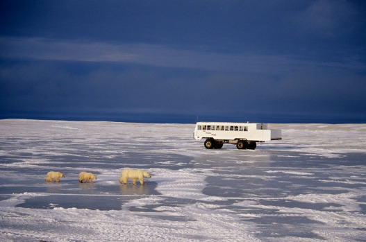 VIEW POLAR BEARS IN THE WILD: Churchill is one of the world's prime spots for spotting polar bears in the wild. Peak ...