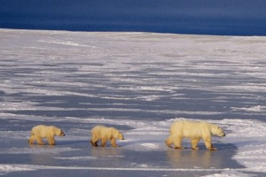 A polar bear mother and cubs walk across ice near Churchill, Manitoba.