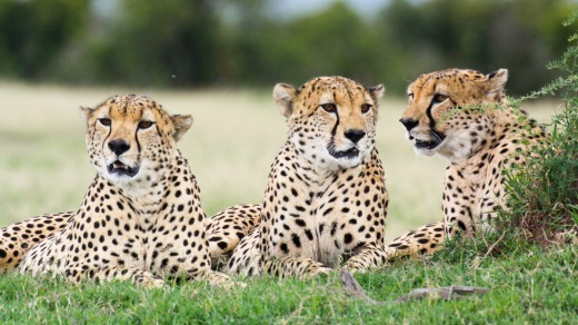 Three male cheetahs relax in the grass. Ol Pejeta Conservancy, Kenya.