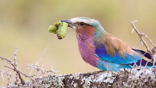 A lilac-breasted roller perches with a captured caterpillar in its beak.