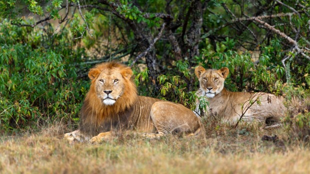 A pair of lions during mating season in Ol Pejeta Conservancy.
