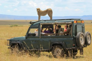 A cheetah attempts to get a better view of his lunch.