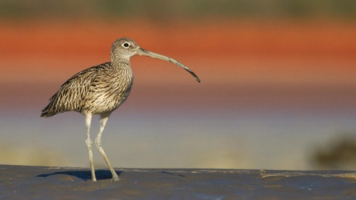 Eastern Curlew at Broome Bird Observatory.