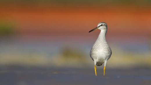Grey-tailed Tattler at Broome Bird Observatory.