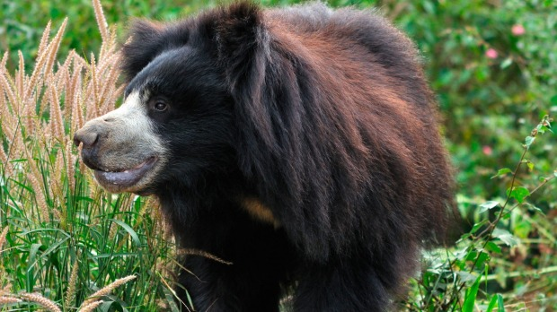 A sloth bear, one of the most elusive animals in Ranthambore.