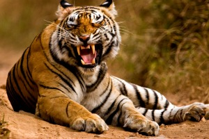 Easy, tiger, although finding these increasingly rare big cats isn't easy.