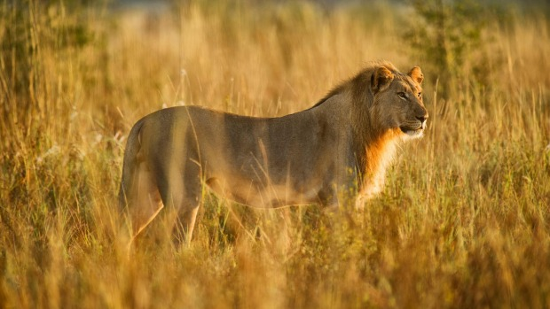 A lion at the Madikwe Game Reserve, South Africa.