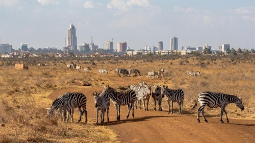 The zebras at Nairobi National Park are all but urban.