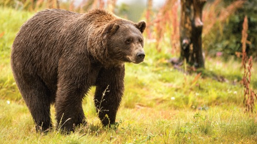 An Alaskan brown bear.